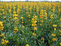 Międzynarodowy Rok Roślin Strączkowych