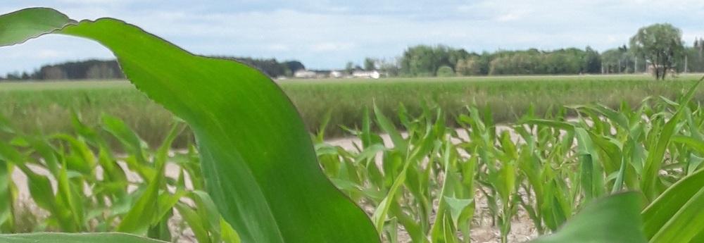 Informacja o stanie upraw w Rolniczych Zakładach Doświadczalnych IUNG-PIB