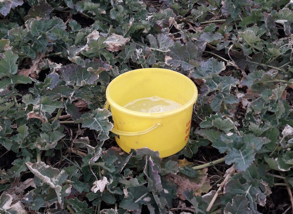 Żółte naczynia w rzepaku do sygnalizacji szkodników w rzepaku
